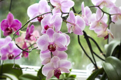 Pink orchid on the window Royalty Free Stock Image