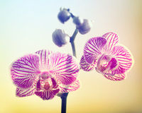 Pink Orchid on Yellow Backround Stock Photos
