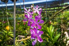 Beautiful Orchidaceae flowers in orchid farm, Phuket, Thailand royalty free stock photo