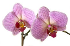 Pink orchids. Two beautiful pink orchids with details Stock Images