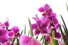 Pink orchids Stock Photos