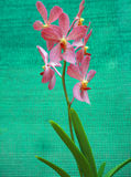 Pink Orchids. Blomming on green background Stock Photos