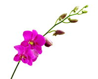 Pink Orchids. Royalty Free Stock Photos