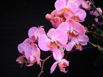 Pink Orchids. Beautiful pink orchids against a black background Royalty Free Stock Images