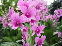 Pink orchids. Pink veined orchids in the Singapore Botanical gardens Royalty Free Stock Photography