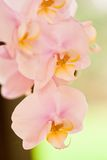 Pink orchids. Beautiful soft pink orchids with pastelcolor green background Stock Image