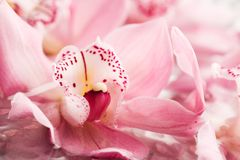 Pink orchids Royalty Free Stock Photo