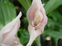Pink orchids. Pair orchids Royalty Free Stock Image