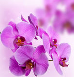 Pink orchids on abstract background Stock Photos