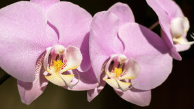 Pink Orchids Background Royalty Free Stock Image