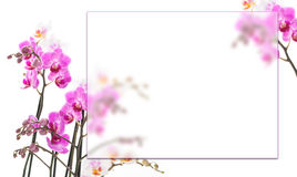Pink orchids background. Pink orchids with a frame for your text Stock Photo