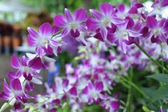 Pink orchids background Royalty Free Stock Photo