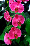 Pink Orchids. Beautiful pink orchids (phalaenopsis) with natural background Stock Photo