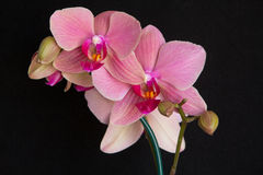 Pink orchids on black Stock Photography