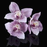 Pink Orchids on Black Stock Image