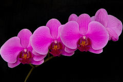 Pink orchids on a black background. A set of orchids, with rich pink color, isolated on a black background Royalty Free Stock Photography