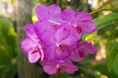 Pink Orchids on blurry background Stock Image