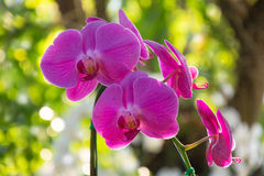 Pink Orchids on blurry background Stock Photography