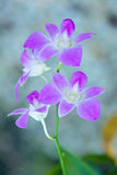 Pink Orchids on blurry background Royalty Free Stock Images