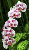 Pink orchids Stock Images