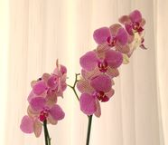 Pink orchids close up in front of a curtain stock photography