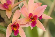 Pink Orchids. Close-up of pink orchids on a green background stock photography