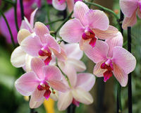 Pink orchids composition Stock Images