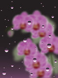 Pink Orchids With The Drops Of Water Royalty Free Stock Image