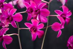 Pink Orchids exotic Stock Photography
