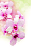 Pink orchids flower Royalty Free Stock Photography