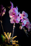Pink Orchids flower Stock Photos