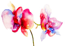 Pink orchids flowers. Watercolor illustration Stock Photos