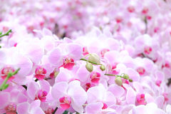 Pink orchids garden background. Royalty Free Stock Image
