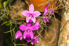 Pink Orchids in garden Stock Photography