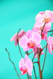 Pink orchids on a green background close-up Stock Images
