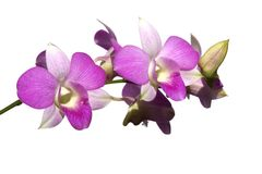 Pink Orchids isolated Stock Photography