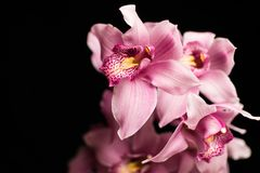 Pink orchids, isolated against a black background royalty free stock photography