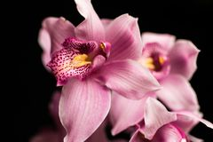 Pink orchids, isolated against a black background stock photo