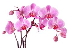 Pink orchids. Isolated on a white background Stock Image