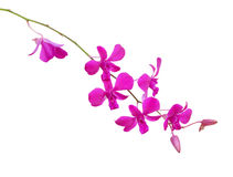 Pink orchids isolated on white. Background Stock Images