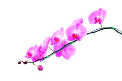 Pink orchids isolated on white. Background Royalty Free Stock Photography