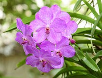 Pink orchids on the nature Royalty Free Stock Photos