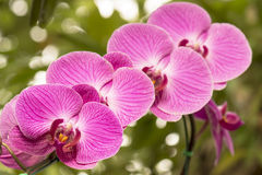 Pink orchids on the nature Royalty Free Stock Photo