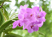 Pink orchids on the nature Royalty Free Stock Photography