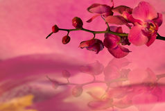 Orchid on a pink background. Pink orchids  on a pink background Stock Photo