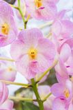 Pink orchids(Vanda) Royalty Free Stock Images