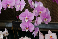 Pink orchids with white center. Pink phalaenopsis orchids with white center royalty free stock photography