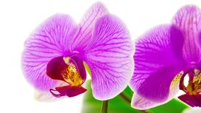Pink orchids stock video