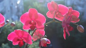 Pink orchids in the wind Stock Photo