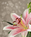 Pink oriental lily. Pink oriental lily with diffused background Royalty Free Stock Images